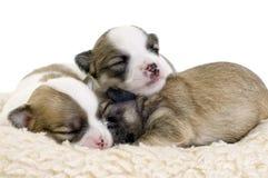 Dormindo dois filhotes de cachorro velhos da chihuahua das semanas Foto de Stock