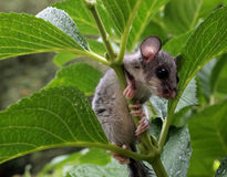 Dormouse Stock Photos