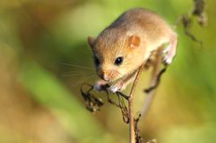Dormouse Royalty Free Stock Image