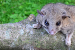 Dormouse on branch. Dormouse, or Glis glis, or Myoxis glis  in natural habitat, standing on ash branch Stock Photography