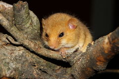 Dormouse Stock Photo