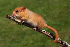 Dormouse Muscardinus avellanarius Royalty Free Stock Photo