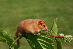 Dormouse Muscardinus avellanarius. Little dormouse climb the twigs in nature Stock Photography