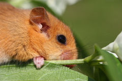 Dormouse Muscardinus avellanarius. Little dormouse climb the twigs in nature Royalty Free Stock Photo