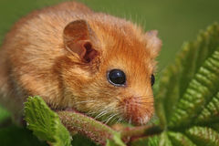 Dormouse Muscardinus avellanarius. Little dormouse climb the twigs in nature Stock Images