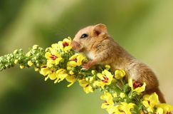 Dormouse with primes Stock Photos