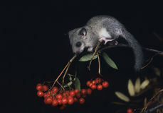 Dormouse sitting on rowan branch Royalty Free Stock Photography