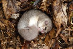 Dormouse sleeping. Adorable hairy dormouse during winter sleep Royalty Free Stock Photos