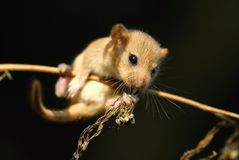 Dormouse on stalk Royalty Free Stock Images