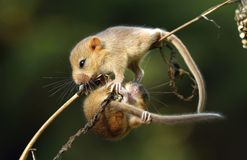 Dormouses on stalk Stock Photography