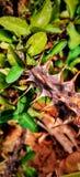 Dornen auf einer Hecke Die Nahaufnahme oder das laut gesummte Bild wird an einem Telefon genommen Grüne Blätter und gelber Hinter stockfotos
