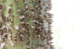 Dornen eines silk Baumwollbaum Ceiba pentandra Lizenzfreie Stockfotografie
