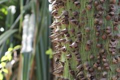 Dornen eines silk Baumwollbaum Ceiba pentandra Lizenzfreie Stockfotos