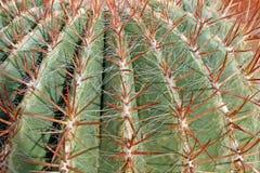 Dornen und Dorne sehr scharf ein fetter Kaktus Lizenzfreies Stockfoto