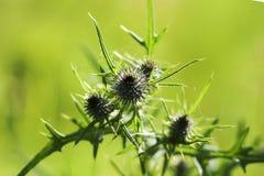Dornengras im grünen Gras in der Sonne Lizenzfreies Stockbild