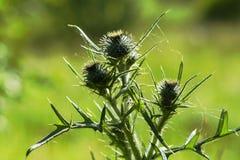 Dornengras im grünen Gras in der Sonne Stockbilder