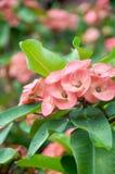 Dornenkrone Blume Lizenzfreies Stockbild