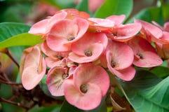 Dornenkrone Blume Lizenzfreie Stockfotos