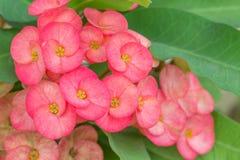 Dornenkrone Blume Lizenzfreies Stockfoto