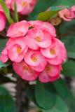 Dornenkrone Blumen Stockbild