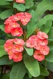 Dornenkrone Blumen Stockfoto