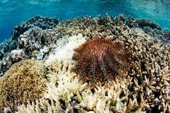 Dornenkrone dem Seestern, der auf Koralle einzieht Stockfotos