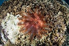 Dornenkrone den Starfish, die auf Koralle einziehen Stockfoto
