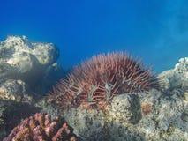 Dornenkrone Seestern u. x28; Acanthaster-planci& x29; einziehendes Korallenriff Stockbild