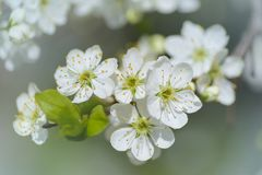 Dornenpflaume blüht Nahaufnahme im Garten am sonnigen Tag Lizenzfreies Stockbild