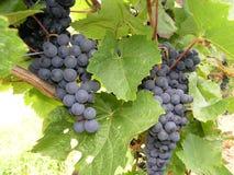 Dornfelder vine Stock Photo