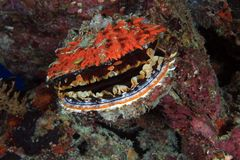 Dornige Auster Stockbilder