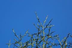 Dornige Niederlassungen gegen blauen Himmel Stockbild