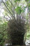 Dorniger Bambus Stockfotografie