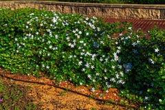 Dorniger grüner Busch mit weißen Blumen Stockfoto