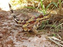 Dorniger Teufel, Hinterland, Australien lizenzfreie stockbilder
