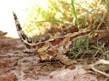 Dorniger Teufel, Hinterland, Australien stockfotos