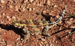 Dorniger Teufel, Hinterland, Australien stockfotografie