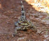 Dorniger Teufel, Hinterland, Australien lizenzfreies stockfoto