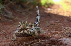 Dorniger Teufel, Hinterland, Australien stockfoto