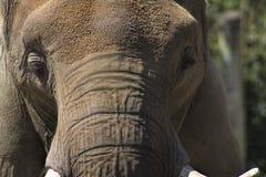 Dorośleć Azjatyckiego słonia twarz - Pachyderm fotografia stock