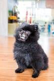 Dorośleć czarny pomorzanka pies w posadzonej pozyci Obraz Stock