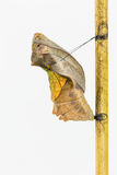 Dorośleć kokon pospolity birdwing motyl zdjęcie stock