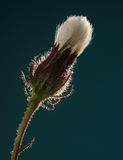 Dorośleć kwiatu zbliżenie Obraz Royalty Free