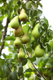 Dorośleć owoc w gałąź drzewo Obraz Stock