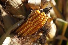 Dorośleć podlewań kukurydzani cobs zdjęcie stock