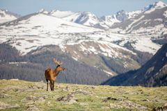Dorośleć samiec Jeleniego łasowanie w łące na letnim dniu w Skalistej góry parku narodowym zdjęcia stock