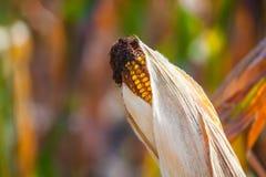 Dorośleć, wysuszony ucho żółta słodka kukurudza na polu Obrazy Stock