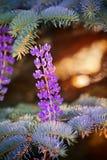 Dorośnięcia lupine kwiaty Obrazy Royalty Free