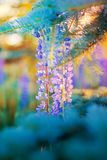 Dorośnięcia lupine kwiaty Fotografia Stock