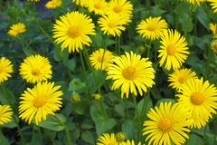 Doronicum Royalty Free Stock Image
